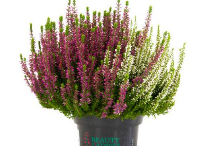 Calluna Beauty Ladies Twins